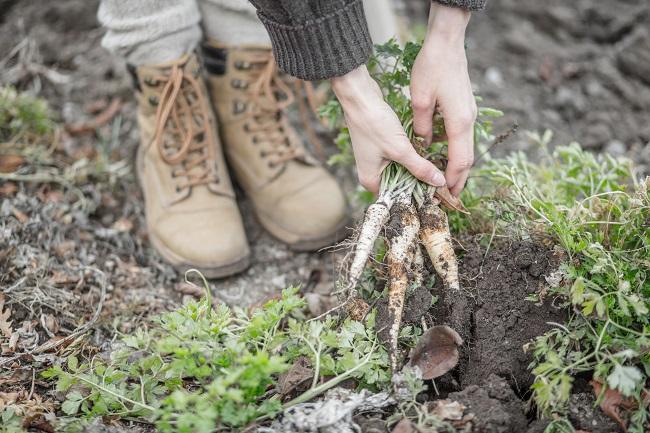 Uprawa pietruszki korzeniowej w gruncie