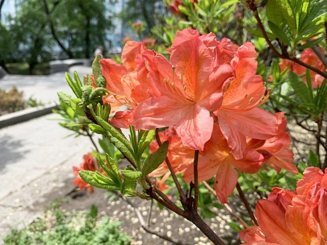 Rośliny na taras - azalia japońska