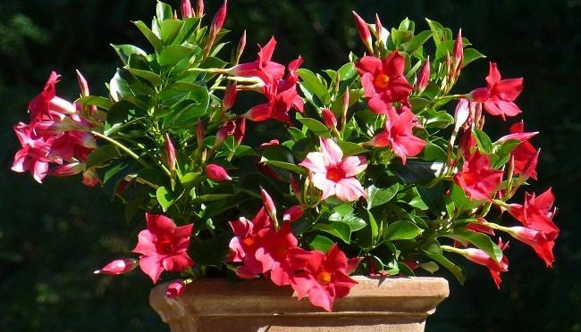 Rośliny na taras - mandevilla