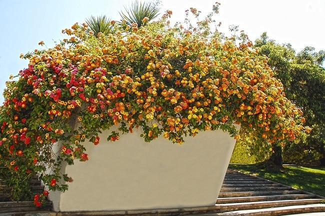 Rośliny na taras - lantana pospolita