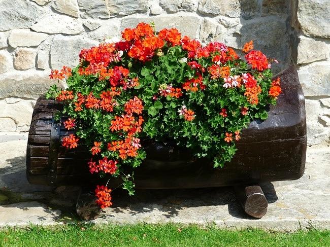 Rośliny na taras - pelargonia