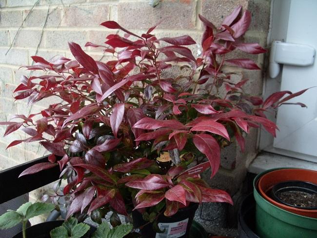 Rośliny zimozielone na balkon - Kiścień