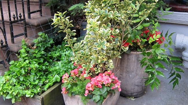 Rośliny zimozielone na balkon - Trzmielina Furtune'a
