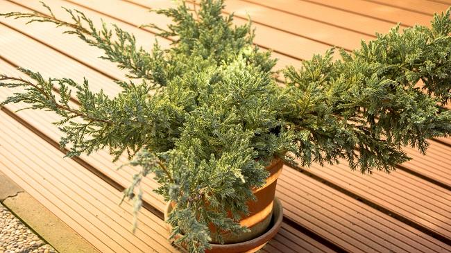 Rośliny zimozielone na balkon - tuja
