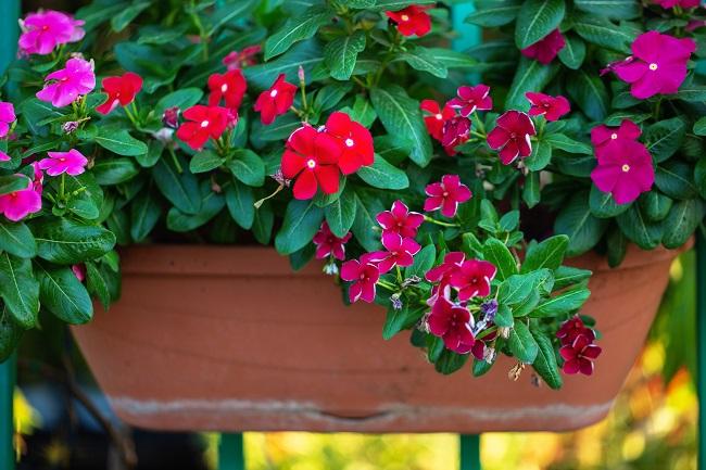 Rośliny zimozielone na balkon - barwinek zwyczajny