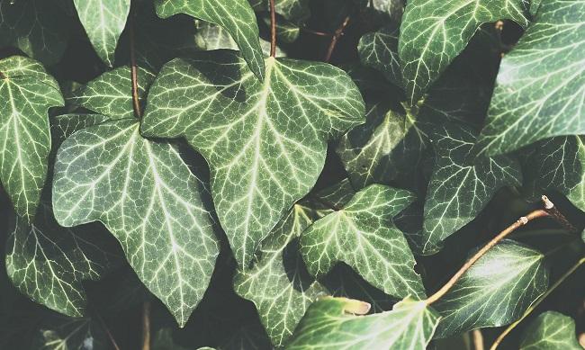 Rośliny zimozielone na balkon - bluszcz pospolity