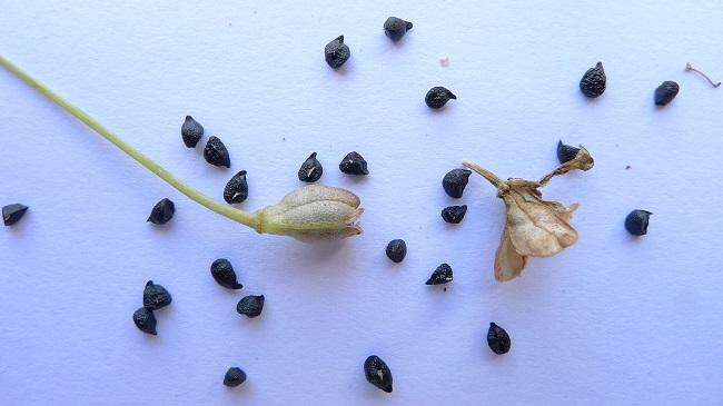 Wysiew w kwietniu - nasiona cebuli