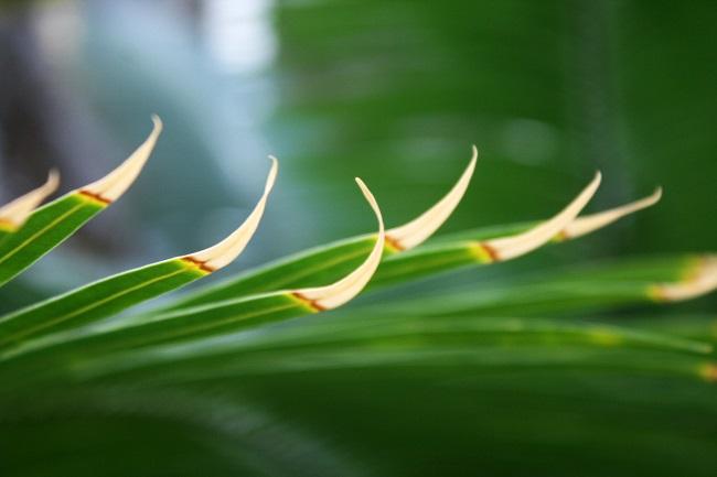 Zasychanie końcówek liści