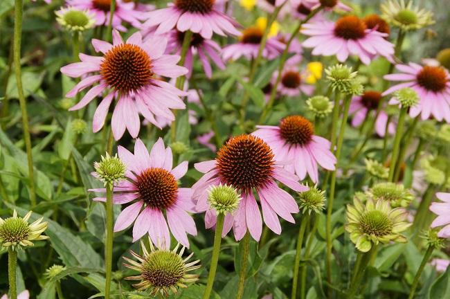 Zioła lecznicze w ogrodzie - Jeżówka purpurowa
