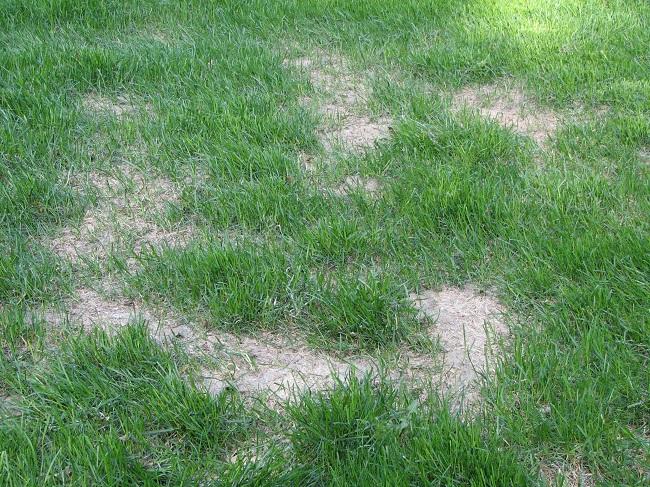Żółknięcie trawy