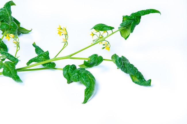 Zwijanie się liści pomidorów - mszyce