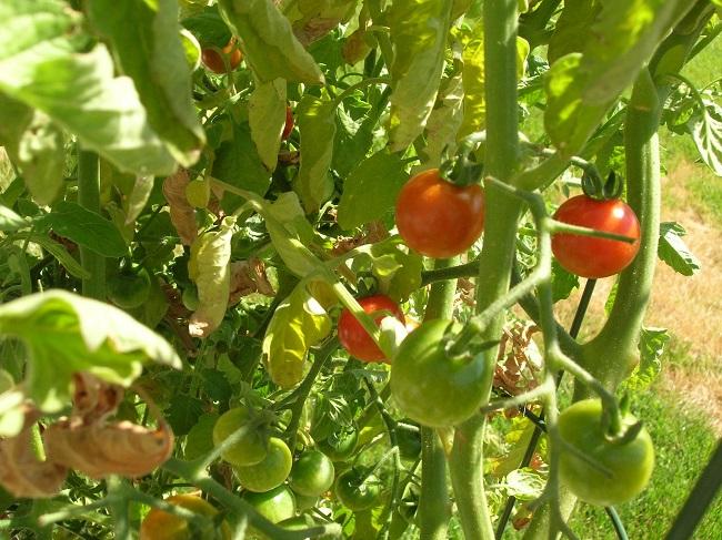 Zwijanie się liści pomidorów - niedobór wody