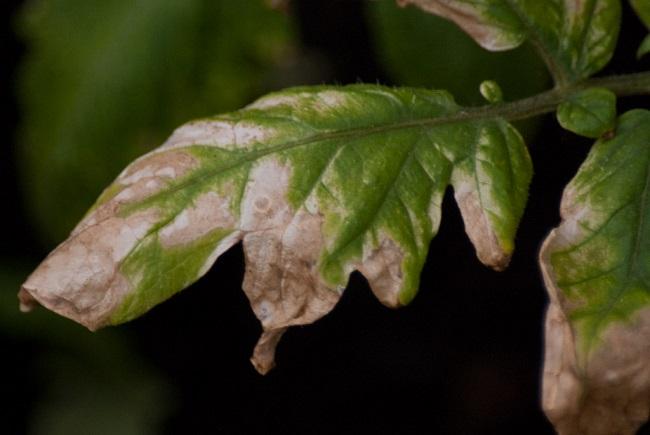 Zwijanie się liści pomidorów - poparzenie słoneczne