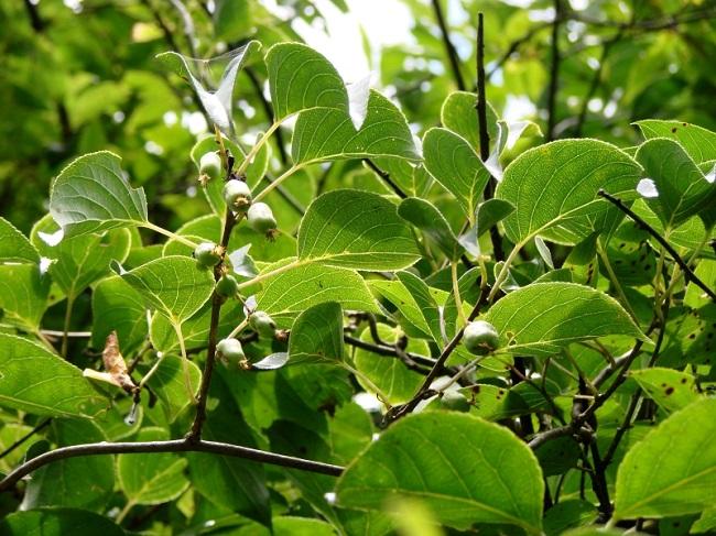 Aktinidia ostrolistna - mini kiwi