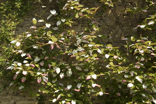 Aktinidia pstrolistna - mini kiwi