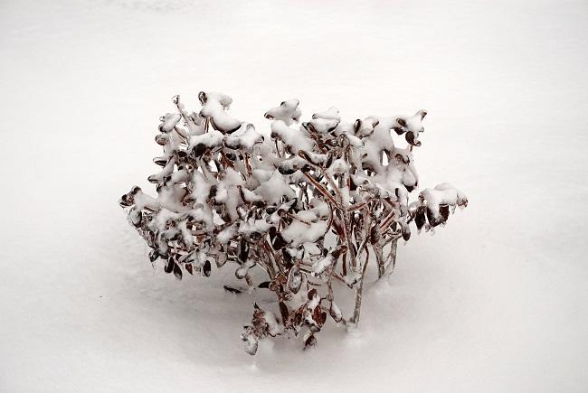 Brązowienie liści rododendronów