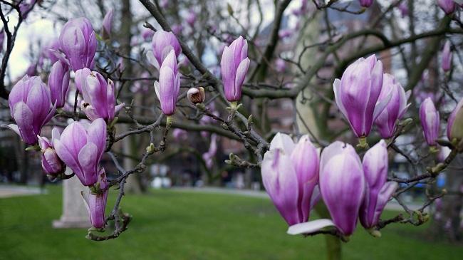 Dlaczego magnolia nie kwitnie