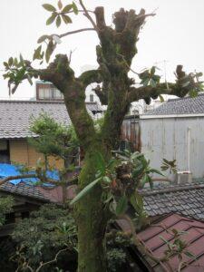 Dlaczego magnolia nie kwitnie - niewłaściwe przycinanie