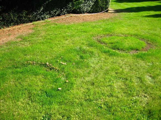 Grzyby na trawniku – czarcie kręgi