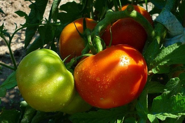 Nasiona F1 - pomidory