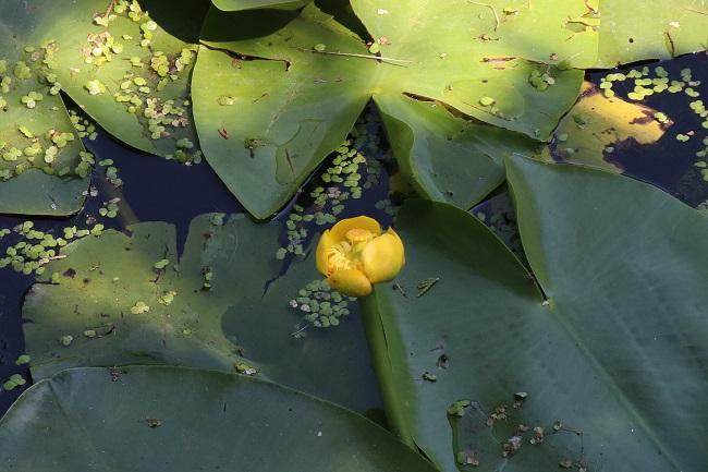 Rośliny do oczka wodnego - grążel żółty