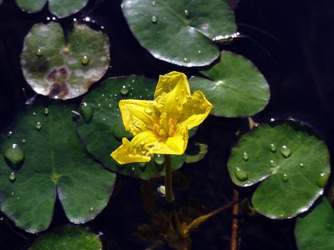 Rośliny do oczka wodnego - grzybieńczyk,