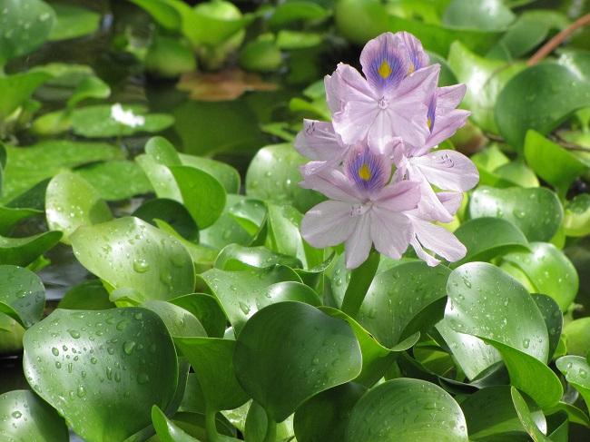 Rośliny do oczka wodnego - hiacynt wodny