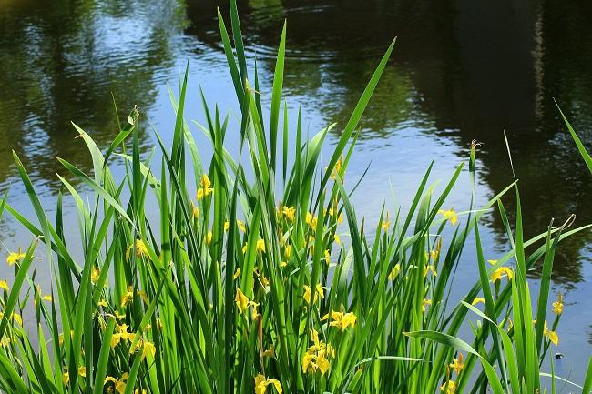 Rośliny do oczka wodnego - kosaciec żółty