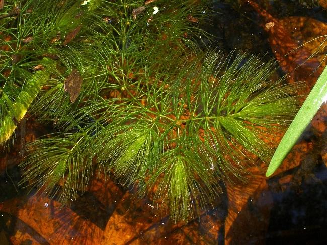 Rośliny do oczka wodnego - rogatek sztywny