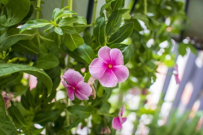 Rośliny na balkon i taras - barwinek pospolity