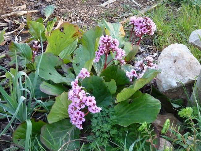 Rośliny przy oczku wodnym - Bergenia sercowata