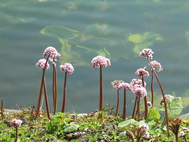 Rośliny przy oczku wodnym - Tarczownica tarczowata