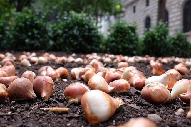 Wrzesień w ogrodzie - sadzenie roślin cebulowych