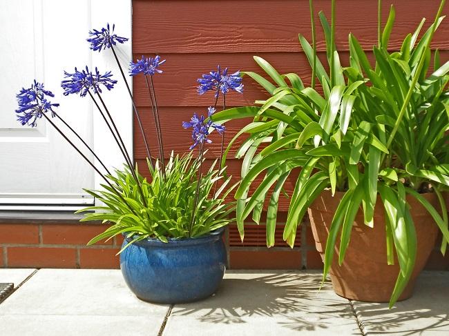 Zimowanie roślin egzotycznych - Agapan