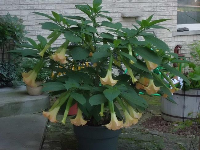 Zimowanie roślin egzotycznych - Brugmansja