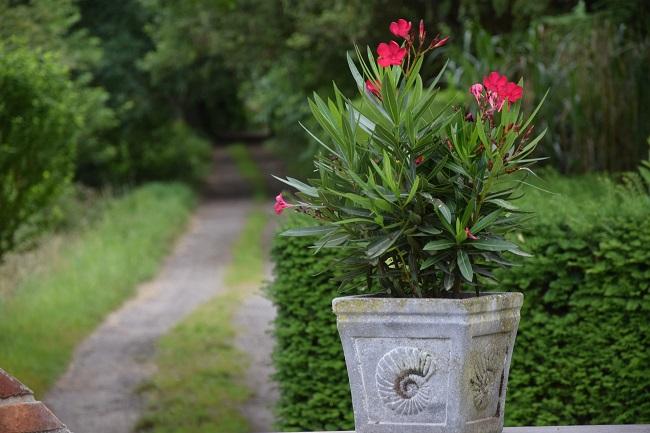 Zimowanie roślin egzotycznych - oleander