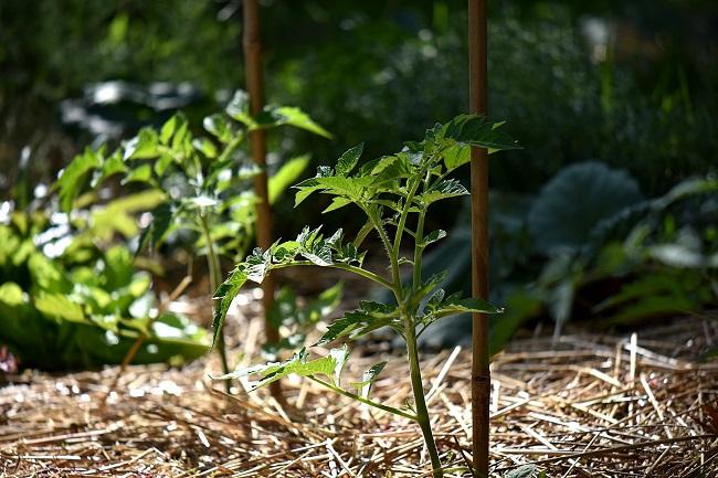 Sadzenie pomidorów