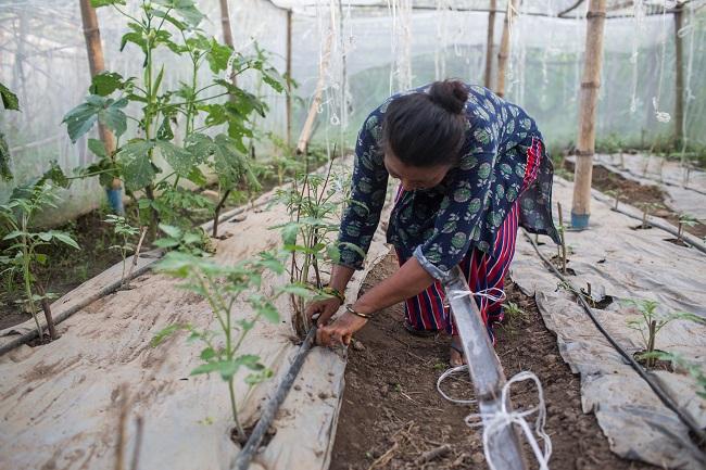 Uprawa pomidorów pod folią