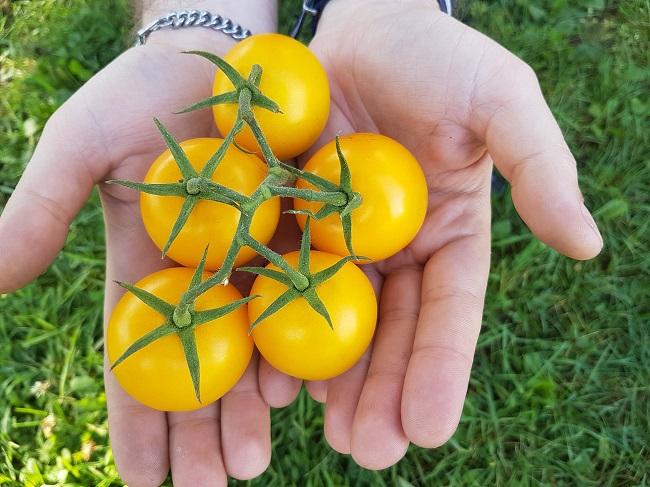 Właściwości pomidorów - pomidor żółty